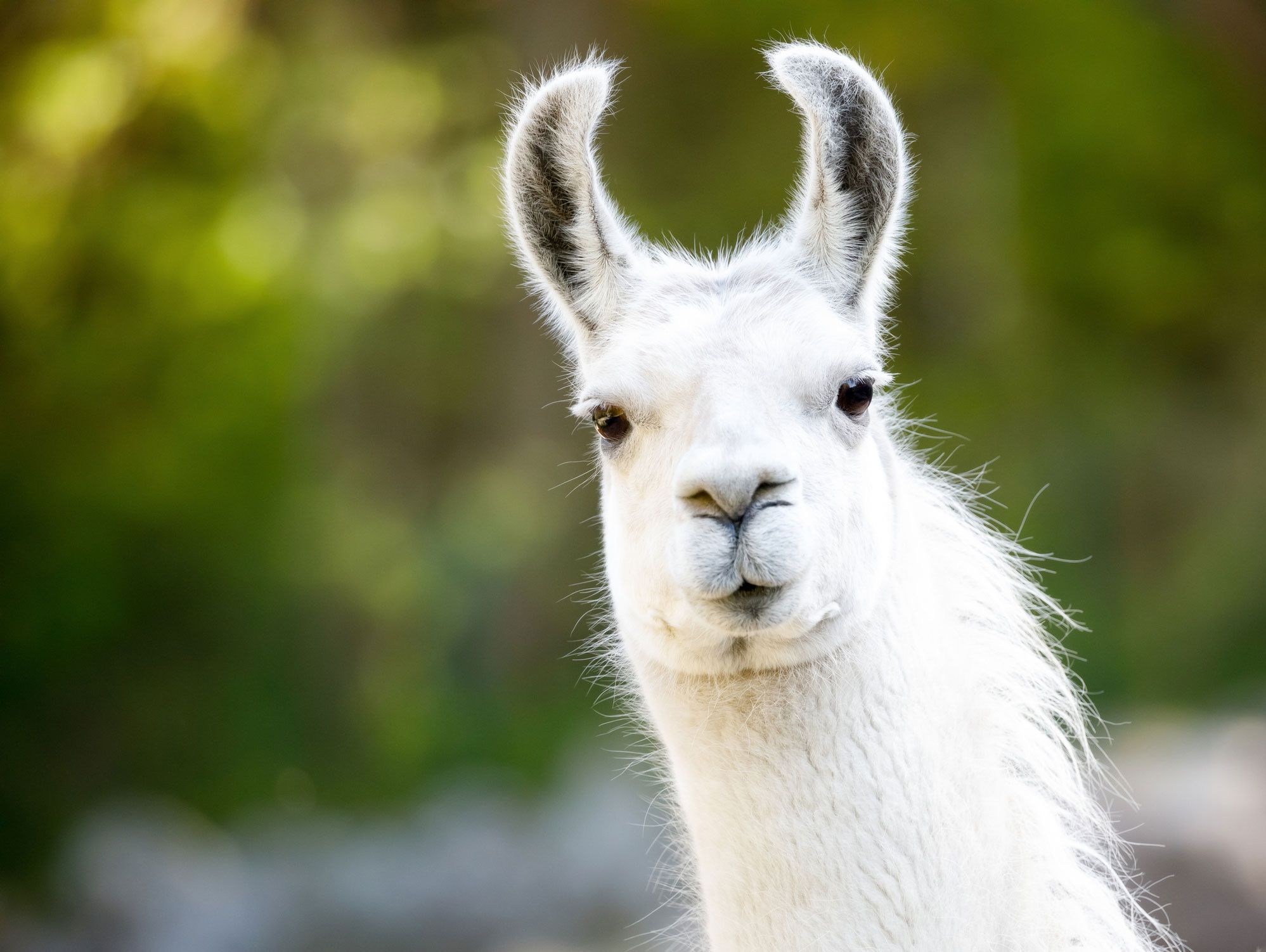 Llama hidden in secret Belgian location could defeat coronavirus